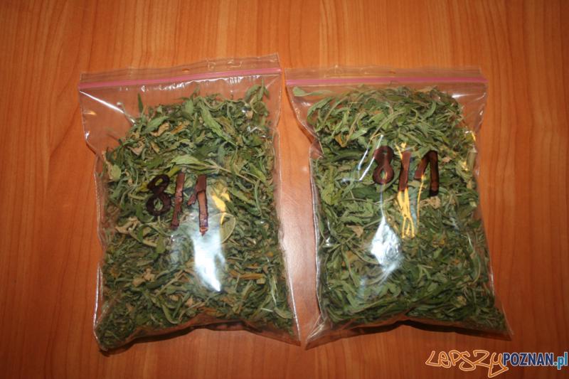 Polcja zatrzymala plantatora marihuany (2)  Foto: