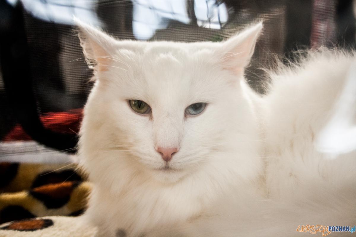 Wystawa kotów rasowych (20.02.2016) MTP  Foto: © lepszyPOZNAN.pl / Karolina Kiraga