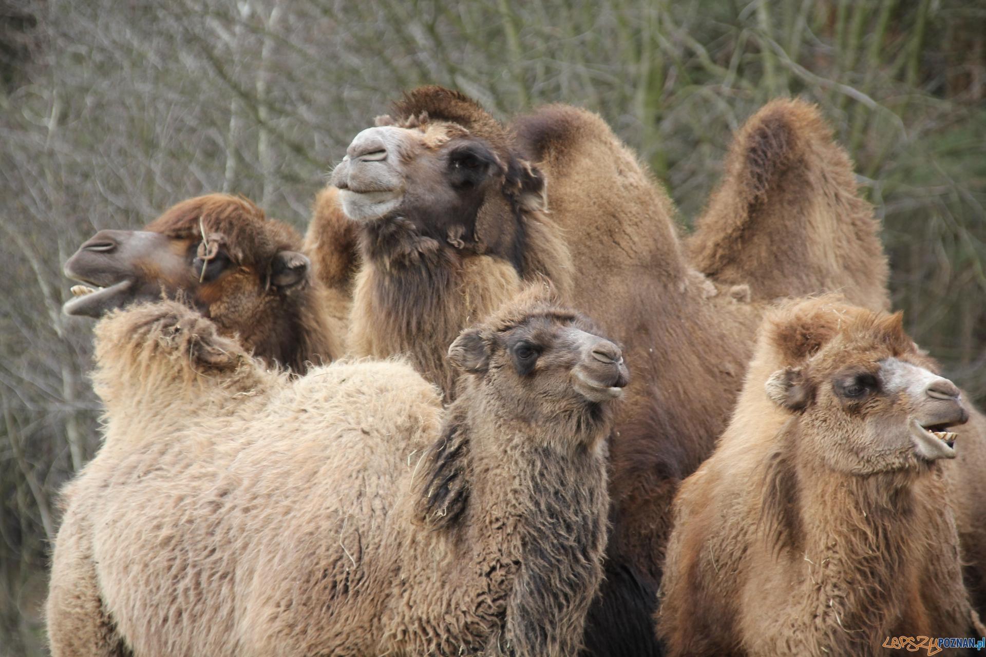 Wielbłady - od prawej  Layla, Karim , Wanilia ,Gaja  Foto: ZOO Poznań