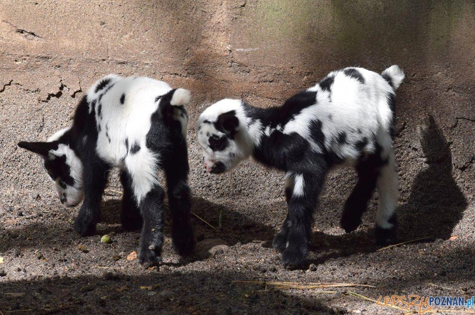 Nowe maluchy w cologu  Foto: ZOO POZNAŃ