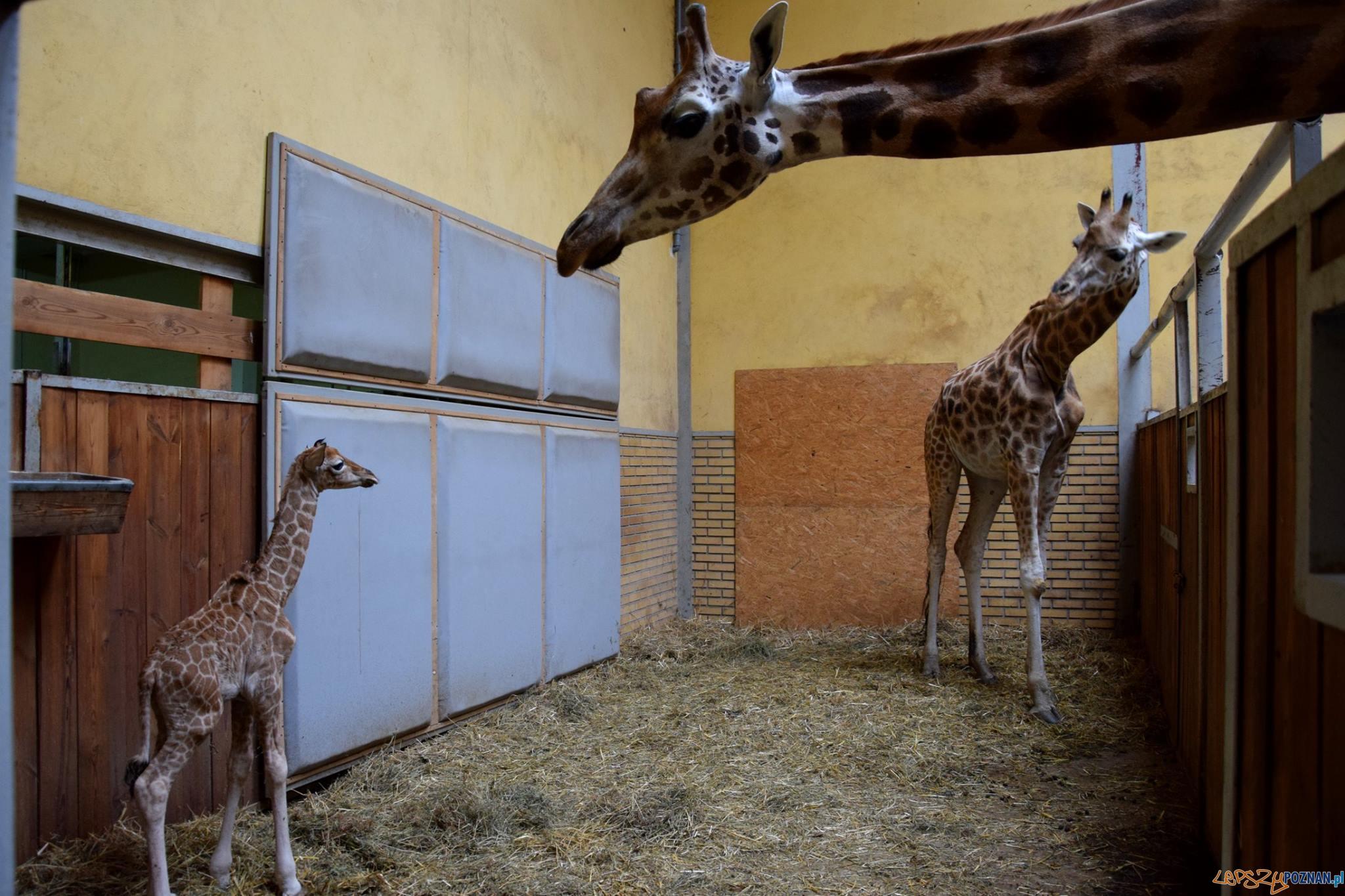 Leo - żyrafa z poznańskiego ZOO  Foto: ZOO / materiały prasowe