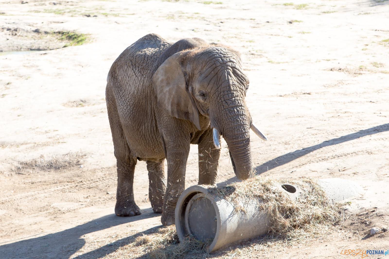 Słonica w słoniarnii poznańskiego zoo  Foto: lepszyPOZNAN.pl/Piotr Rychter