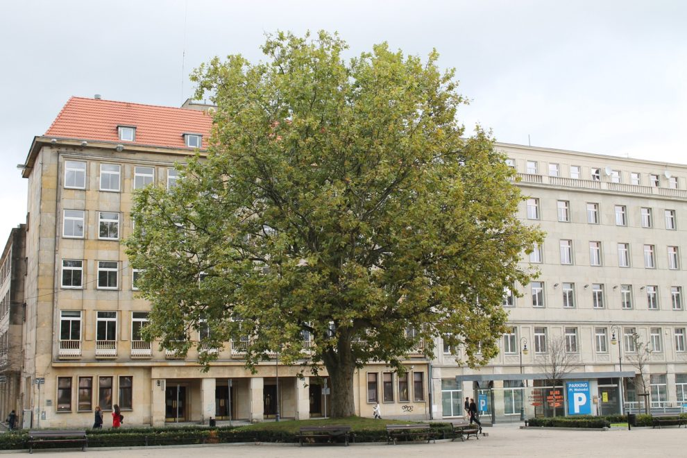 Platan Plac Wolności  Foto: Tomasz Dworek