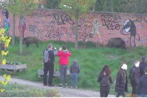 Dziki  Foto: Straż Miejska